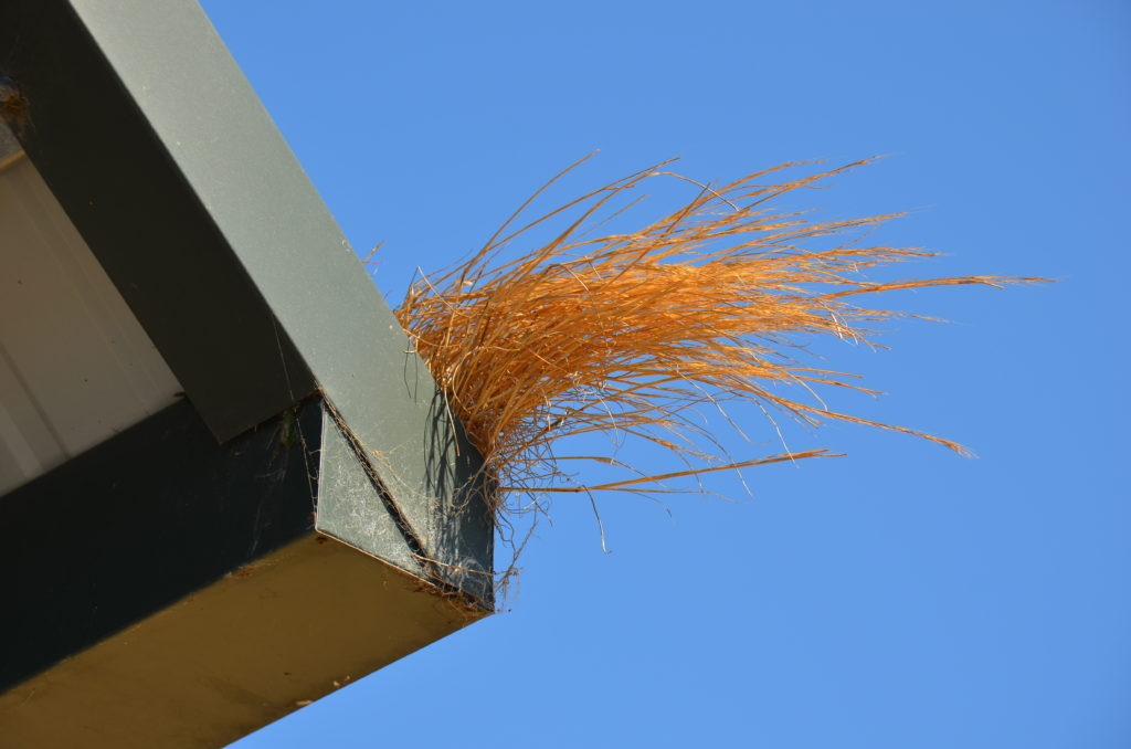 Image of dry grass growing out of a hard to reach rain gutter