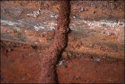 Image showing termites travel tube