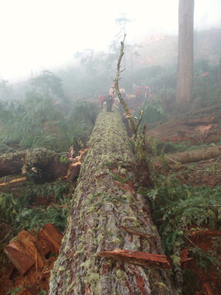 Felled old-growth tree on hillside