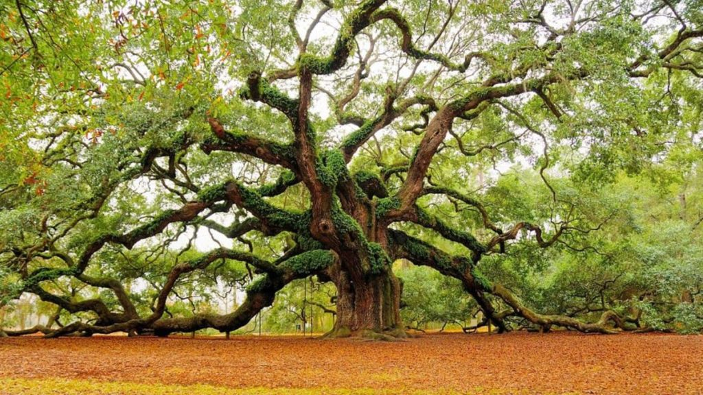 how not to kill and oak tree